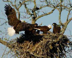 Eagles and eaglets nesting in Llano.